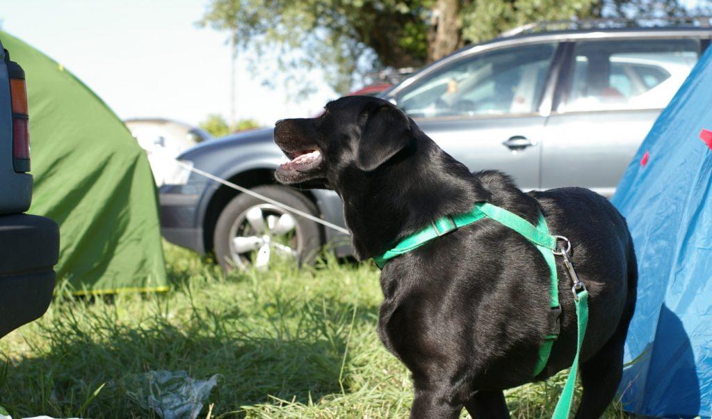 drugi dzień wśród namiotów, pies jakby szczęśliwszy