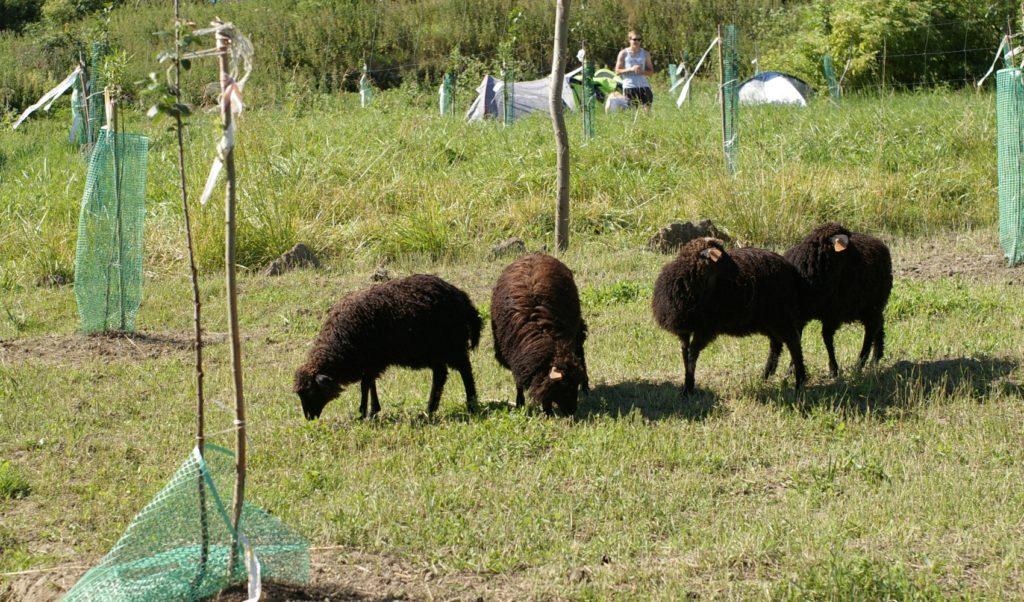 owieczki!